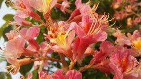 Конский каштан Hippocastanum Aesculus с розовыми цветениями стоковые фото