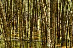 Конспект леса, лес мангровы Стоковое Изображение