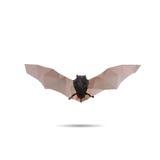 Конспект летучей мыши Стоковое Фото