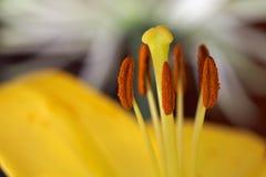 Конспект желтого цвета тычинок лилии Стоковое Изображение RF
