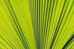 Конспект зеленых лист ладони Стоковые Фото