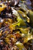Конспект, листья келпа стоковое фото