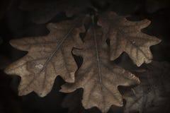 Конспект лист дуба стоковая фотография