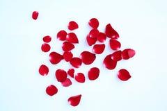 Конспект лепестков красной розы на белой предпосылке Стоковое Фото