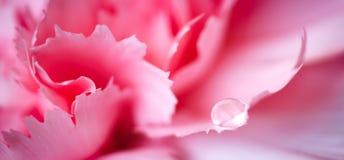 Конспект макроса знамени сети лепестков розы с падением воды Стоковая Фотография RF