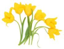 Конспект цветка тюльпана Стоковые Изображения