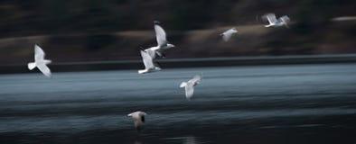 Конспект чайки летания стоковая фотография rf
