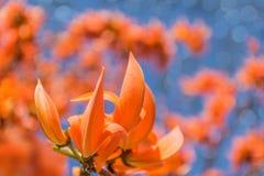 Конспект monosperma Butea, драчевого Teak, Бенгалии Kino, пламени леса и Erythrina, дерева коралла, бобовые, цветка с Стоковые Изображения
