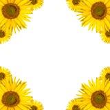 Copyspace предпосылки солнцецвета Стоковые Фотографии RF