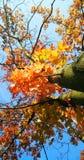 Контраст красной желтой листвы и голубого неба Стоковые Фотографии RF