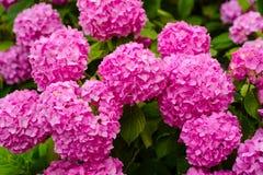 Контрольный знак лета Цветение гортензии на солнечный день Цвести цветки в саде лета Цветя hortensia стоковое фото rf
