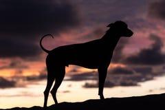 Контур перуанской безволосой собаки Стоковое Изображение RF