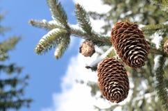 2 конуса ели на небе зимы Стоковые Фотографии RF