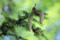 2 конуса на елевой ветви Стоковая Фотография RF