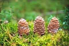 3 конуса сибирского кедра в лесе Стоковое Фото