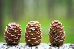 3 конуса сибирского кедра в лесе Стоковое фото RF