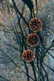 3 конуса сосны на камне Стоковая Фотография RF