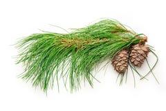 2 конуса сосны с ветвью ели Стоковое Изображение RF