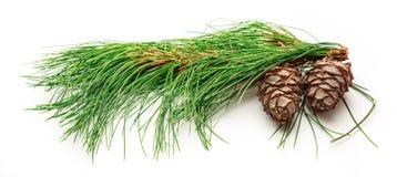2 конуса сосны с ветвью ели Стоковая Фотография RF