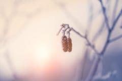 2 конуса с изморозью в лесе зимы Стоковое Изображение RF
