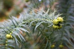 Конусы араукарии макроса Зеленая coniferous ветвь Дерево головоломки обезьяны Чилийская сосна Стоковое фото RF