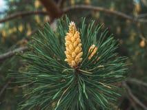 Конусы желтой сосны от хвойного дерева на времени весны, ингридиента для целебных продуктов и традиционной медицины стоковое фото