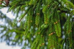 Конусы зеленого цвета зимы конца-вверх ветвей дерева Стоковые Изображения RF