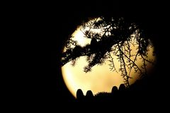 Конусы и иглы дерева cedrus silhouetted против луны дурака стоковые изображения rf