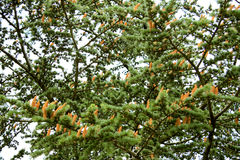Конусы на ветви ели Стоковое Изображение RF