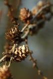 Конусы на предпосылке природы ветви деревянной сделанной с ретро фильтрами цвета стоковое изображение rf