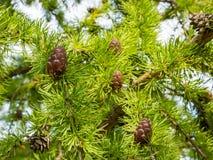 Конусы на хвойном дереве Стоковая Фотография RF