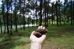 Конусы сосны в лесе Стоковое фото RF
