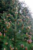Конусы сосны младенца весной с рыжеватой подкраской стоковое изображение rf