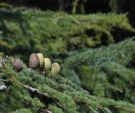 Конусы сосны на Атлантике/голубом atlantica Cedrus дерева кедра атласа стоковые изображения rf
