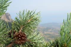 Конусы сосны на ветвях дерева с иглами сосны Стоковые Фотографии RF