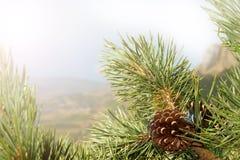 Конусы сосны на ветвях деревьев с иглами и голубым небом на заднем плане Стоковые Фотографии RF