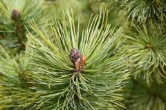 Конусы сосны на ветвях Стоковая Фотография