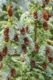 Конусы сосны на дереве Стоковое фото RF