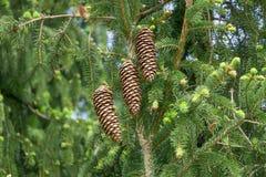 Конусы сосны на зеленых ветвях Стоковые Изображения