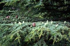 Конусы сосны на кедре Ливана Стоковое Изображение