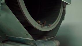 Конусы сосны падают из цилиндра Автоматизированная линия для очищать и сортировать конусы акции видеоматериалы