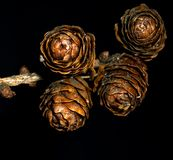 Конусы сосны против черной предпосылки стоковая фотография rf