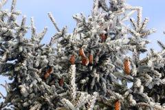 Конусы спруса зеленого цвета зимы высокие стоковые фото