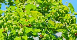 Конусы хмеля ветви, свежий и естественный для пива акции видеоматериалы