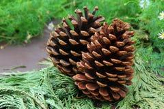 Конусы Conifer на листьях стоковые фотографии rf