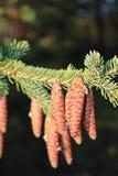 конусы spruce Стоковая Фотография