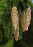 конусы spruce стоковые фотографии rf