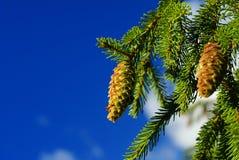 конус ветви Стоковая Фотография RF