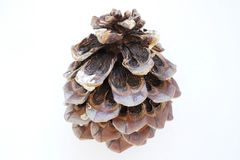 Конус дерева кедра Стоковое Фото