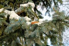 Конус ели и сосны в снеге Стоковые Изображения RF